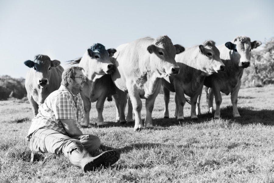Fokken van Aubrac-koeien